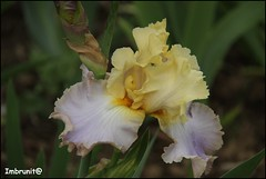 iris (imma.brunetti) Tags: firenze giardini iris gigli colori natura verde toscana stelo foglie petali giallo lilla primavera
