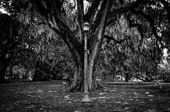 lamp and trees (bistro22380) Tags: trees neworleans blackandwhite moss liveoak light lamp gaslamp