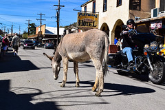 Burros and Bikers. Oatman. Route 66. Arizona. (PickledMonkeyStudio) Tags: oatman oatmanarizona arizona burro burros bikers biker motorcycle donkey route66 oatmanhighway