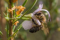 Al trabajo (Victor:-)) Tags: abeja polen romero fotografía macro primavera flores naturaleza fotoconamparohervella victoraparicio