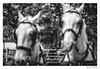 coachman (Aljaž Anžič Tuna) Tags: 312365 312 365 horse lipizzaner lipica coachman white animal resting thinking karst photo365 project365 portrait portraitunlimited people onephotoaday onceaday guy dude man hum human 35mm 365challenge 365project d800 dailyphoto day dof bw blackandwhite black blackwhite beautiful woman nikond800 nikkor nice nikkor85mm naturallight nature f18 8ish monocrome monochrome master