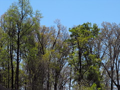 Leaves Filling Out On The Trees. (dccradio) Tags: lumberton nc northcarolina robesoncounty outdoors outside leaves foliage tree trees wooded woods nature landscape sky bluesky clearsky