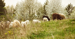 Fresh early grass is full of vitamins :) (proffkom_) Tags: pentacon 135mm f28 retrolens analogue manual vintage m42 meyer optik orestor görlitz sheep spring grass pasture countryside ukraine bukovina