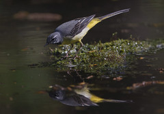 Mirror, Mirror... (Chris Bainbridge1) Tags: motacilla cinerea male grey wagtail reflection catching insects forest pool lemon yellow