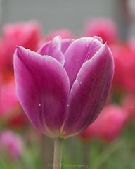 Lonely / Alleen (Stef32Photo) Tags: denhelder nederland netherlands noordholland northholland justone gewooneen paars purple nikon sigma18200mm tulpen daylight daytime overdag daglicht d5300