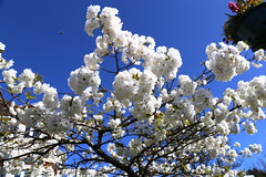 Sakura time in East Preston (tiger289 (The d'Arcy dog supporters club)) Tags: eastpreston westsussex villagegreen dogs penangvillagerestaurant flowers trees beach waves breakwaters sea searoad sealane heraldry architecture clockhouse clocktower plaques villagelife cars boules