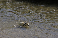 It Can Only Be Spring (me'nthedogs) Tags: snaps terrier jackrussell paddling spring littledoglaughedstories