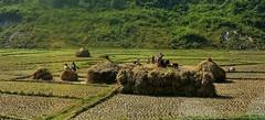 NEPAL, Auf dem Weg nach Pokhara, Bauern bei de Ernte, 16039/8302 (roba66) Tags: reisen travel explore voyages roba66 visit urlaub nepal asien asia südasien pokhara landschaft landscape paisaje nature natur naturalezza landwirtschaft bauern farmer ernte