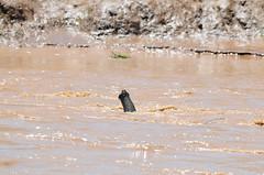 DSC_7726071028 (Akira Uchiyama) Tags: ほ乳類 アフリカ アフリカゾウ ゾウ 動物たちのいろいろ 生息地 鼻 鼻アフリカゾウ