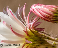 Detail of A Night Blooming Cereus (Maureen Medina ArtiZenImages Photography) Tags: maureenmedina artizenimages closeup macro cactus flower white nightblooming cereus bud