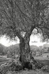 the garden of olive trees (dim.pagiantzas | photography) Tags: garden olives olive tree trees nature cavity stump branches textures wood wooden landscape mountains field rocks rock grayscale monochrome grass portrait