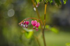 Lamprocapnos spectabilis/Tränendes Herz (milance1965) Tags: tränendesherz herz blume frühling rot lila macro spring flower springflower nikon d7000 50mm 1 4