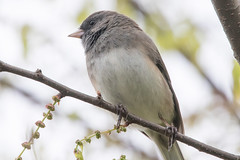Dark-Eyed Junco 4-15-2017-5 (Scott Alan McClurg) Tags: animal back backyard bird branch darkeyed darkeyedjunco forest junco life light nature naturephotography neighborhood perch perching portrait songbird spring suburbs tree wild wildlife woods yard