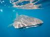 Whale shark III (altsaint) Tags: 714mm gf1 islamujeres mexico panasonic whaleshark shark underwater