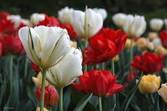 ... tra i colori .... (alesolofoto) Tags: tulipani tulips villataranto verbania piemonte fiori flowers