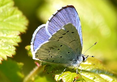 Brilliant Blue. (pstone646) Tags: butterfly nature animal insect closeup wildlife bokeh macro colours fauna