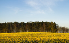 Spring fields in Scotland. (dagomir.oniwenko1) Tags: spring scotland nature landscape sky daffodil flowers fields canon canoneos7d sigmadc1750 edis08edis08 color england uk