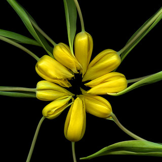 LIVING ART NOUVEAU…the yellow tulips