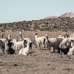 Alpaccas enjoyng the sun in Salar de Uyuni @visitsouthamerica.co #visitsouthamerica (joemania) Tags: roadtrip beautiful epic awesome nature photography sony sonyalpha a7rii minimalist travel traveller fauna ontheroad travelphotography photooftheday unique iceland aerial drone earthpix discoverearth beautifulplaces destinations wildernessculture earthgallery ourlonelyplanet wanderlust instatravel travelgram travelling trip traveltheworld getaway travelpics wanderer travelphoto arountheworld