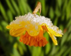 Narzisse mit Eiskristallen (Mariandl48) Tags: narzisse eiskristalle schnee kälte sommersgut wenigzell steiermark austria