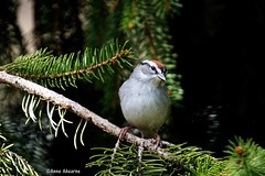 Chipping Sparrow (Anne Ahearne) Tags: bird birds tree nature wildlife animal sprucetree chipping sparrow