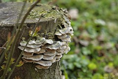 Humber Bridge Country Park, Hessle - East Yorkshire (SteveH1972) Tags: fungus fungi tree stump canon70200lf28usmnonis canonef70200f28lusm 70200 hessle outside outdoor outdoors nature canon7d uk england britain 2017 canon british eastyorkshire