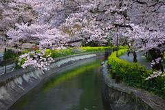 2017/04 山科 琵琶湖疏水 (*Setuka) Tags: kyoto 京都 琵琶湖疏水 桜 菜の花