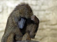 thinking (Frank S (aka Knarfs1)) Tags: zoom zoo gelsenkirchen pavian affe ape mamal säugetier primat
