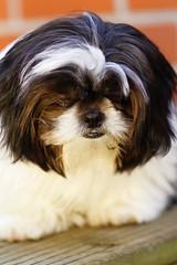 Sad dog (Biddy-r) Tags: crying cry tear dog sad puppy pup shihtzu fe85mmf18
