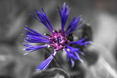 selective centauria (HHH Honey) Tags: sonya7rii minolta50mmf28macro flowers garden macro spring purple centaurea selectivecolour
