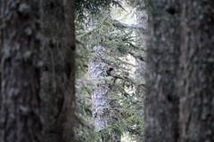 LEO_7573m (MILESI FEDERICO) Tags: milesifederico milesi montagna italia italy iamnikon inmontagna piemonte piedmont primavera wild nikon nikond7100 nital natura nature nat visitpiedmont valdisusa valsusa valledisusa valliolimpiche alpi alpicozie altavallesusa altavaldisusa europa europe d7100 dettagli 2017 cittàmetropolitanaditorino salbertrand fauna animale wildlife picchio picchionero