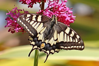 Yellow swallowtail - Machaon