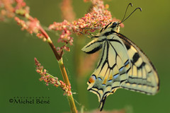votre tailleur, c'est qui? (studio gimi) Tags: papillon butterfly insecte nature grosplan planrapproché depthoffield profondeurdechamp macro natur extérieur outdoor sigma105mm canoneos macrounlimited machaon