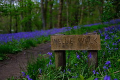 Bluebell woods - whalley (pbarlow1286) Tags: valley ribble whalley lancashire wellies walk wellie xt2 fujinon fuji woods bell blue bluebell spring sprong