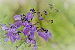 DSC_0248 - Jacaranda (jangurney) Tags: nikon d5500 flower jacaranda purple