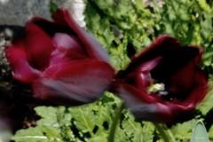 """Cin cin...S'enivrer au bordeaux """"Intentional Blur"""" (kiareimages1) Tags: intentionalblur macromondays macro macroflowers blur bordeaux tulips"""