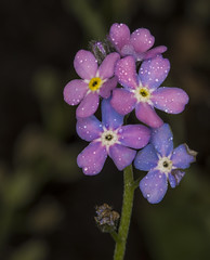 Changing the colors (lkiraly72) Tags: forgetmenot colorchanging plant flower spring happy dewdrops droplet macro