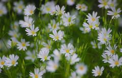 Stitchwort (snowyturner) Tags: flowers spring white hedgerow valley cornwall stitchwort