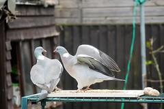 21 April 2017 (23) (AJ Yakstrangler) Tags: yakstrangler pigeon pigeons