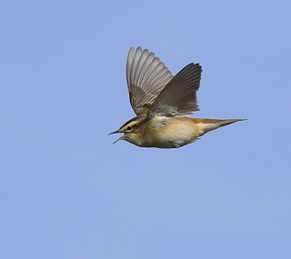 Sedge Warbler song flight