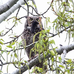 Great horned owl with prey (jlcummins - Washington State) Tags: benningtonlake wallawallacounty washingtonstate prey nature owl greathornedowl fauna wildlife