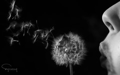 Make a wish.... (Symesey) Tags: dandelion blow wish fairies