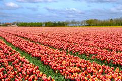Flowerpower (Inky-NL) Tags: landschap bloemen bollen bollenvelden nederland tulpen ingridsiemons©2017 tulips red yellow flowers landscape dutchlandscape flowerfields tulipfields clouds holland denbommel goereeoverflakkee zuidholland