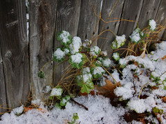 Greenery in the Snow (lefeber) Tags: wood plants snow newyork leaves rural fence snowflakes town village angles worn greenery smalltown hudsonvalley highlandfalls