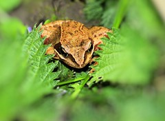 frog-4 (gabriel_flr) Tags: portrait germany head frog frogs frosch broasca nikond5000 gabrielflr gabrielflorea