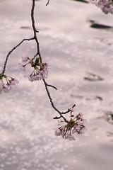 _DSC2577.jpg (d3_plus) Tags: japan cherry nikon nightshot  cherryblossom  sakura nightshots yokohama nikkor kanagawa   night  cherryblossomfestival noge    blossom nikon1  ookariver nikon1j1 1nikkor 1nikkor185mmf18 nikon1j3 1nikkor18mmf18 1nikkorvr10100mmf456