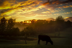 #MorningDaily 31 (James Hancox Photographer Videographer) Tags: morning newzealand sunrise farm hdr steers iphone matakohe jameshancox morningdaily