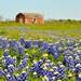 Wildflowers, Texas