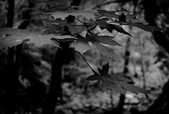 a falling leaf may rest a moment on the air (Super G) Tags: california trees leaves forest dark leaf unitedstates edge canopy morganhill nikon217 sometimesitfeelslikeionlydreaminblackandwhite