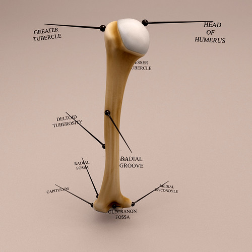Humerus bone - Anatomy 3D model